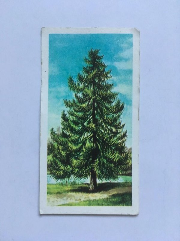Brooke Bond Trees in Britain – Larch – Obverse of Brooke Bond Tea Larch info card